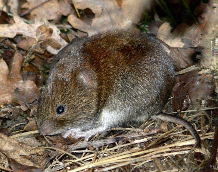 Prestigious Turf Management - removes Voles from your yard!  Located in Yorktown VA