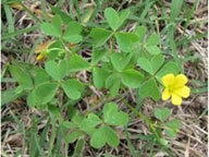 Clover - Common Virginia Weeds - Prestigious Turf Management Yorktown VA