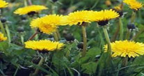 dandelions - Common Virginia Weeds - Prestigious Turf Management Yorktown VA