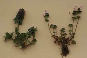 Henbit and Deadnettle - Common Virginia Weeds - Prestigious Turf Management Yorktown VA